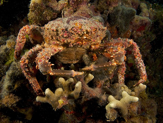 Mithrax spinosissimus (Channel Clinging Crab - female)