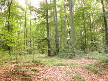forest clearing with leaf strewn floor, low plants and saplings, and tall trees partly obscuring the sky
