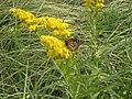 Monarch on Goldenrod (5230034776).jpg