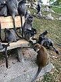 Monkeys bukit melawati.jpg
