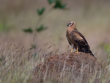 Montagu's Harrier, juvenile, Bangalore, India.jpg