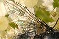 Morellia.podagrica9.-.lindsey.jpg