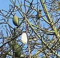 Morey Mansion, Cedar Waxwings in Kapok Tree 03-2012 (6875474416).jpg