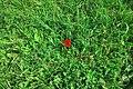 Moscow, North Chertanovo, lone red flower (31341399471).jpg