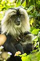 Mother Love - Lion-Tailed Macaque.jpg