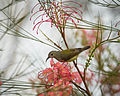 Mrs Gould's Sunbird (Female).jpg