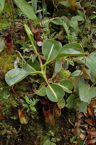 Nepenthes lowii - A rosette plant with lower pitchers