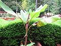 Musa Velutina - Garden Banana 01.JPG