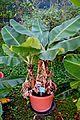 Musa acuminata in Jardin des Plantes de Toulouse 01.jpg