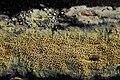 Mycoaciella bispora (35850438532).jpg