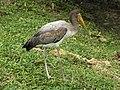 Mycteria ibis juvenile.jpg