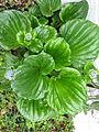 Myosotidium hortensia (8750248432).jpg