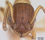 Myrmica pinetorum casent0104883 head 1.jpg