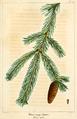 NAS-148 Picea glauca.png