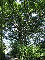 ND 611.074, Stieleiche, 2, Wolfsanger-Hasenhecke, Kassel.jpg