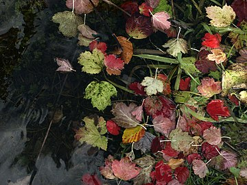 NP07- Autmn leaves in small lake near Risnjak.jpg