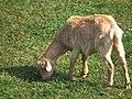 Nach links schauende grasende Ziege mit Glöckchen.JPG