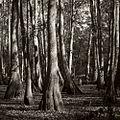 NatchezCypressSwamp.jpg