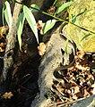 Natrix natrix in Lednické rybníky.jpg