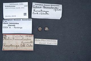 <i>Libera</i> (gastropod) genus of molluscs