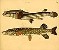 Naturgeschichte in Bildern mit erläuterndem Text (Taf. CXI) (6058677761).jpg
