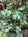 Nepenthes truncata3.jpg