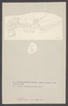 Nephrops norvegicus - - Print - Iconographia Zoologica - Special Collections University of Amsterdam - UBAINV0274 006 02 0028.tif