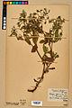 Neuchâtel Herbarium - Borago officinalis - NEU000020577.jpg