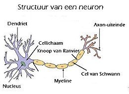 Zenuwcel Wikipedia