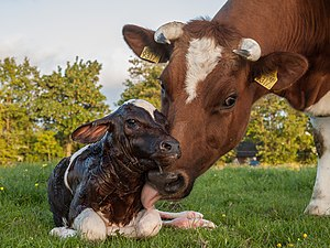 New born Frisian red white calf.jpg