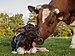 New born Frisian red white calf.jpg