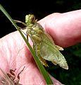 Newly emerged. Black-tailed Skimmer.Orthetrum cancellatum. - Flickr - gailhampshire.jpg