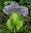 Nicandra physalodes flower3 (14509297559).jpg