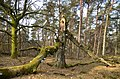 Nice dead trees and lots of mushrooms Fomes fomentarius (Tinder fungus or Ice man fungus, D= Zunderschwamm, F= Amadouvier, NL= Echte tonderzwam) at Deelerwoud - panoramio.jpg