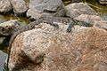Nile Monitor (Varanus niloticus) juvenile (16092686694).jpg