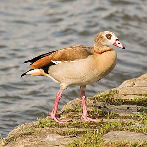 Alopochen aegyptiaca (Egyptian Goose, adult) in the evening sunlight