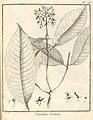 Nonatelia violacea Aublet 1775 pl 73.jpg