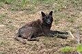 North American Wolf - Tala 0920 (7263498632).jpg