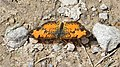 Northern Crescent (Phyciodes cocyta) - Guelph, Ontario 05.jpg