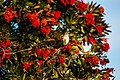Northern mockingbird (31561204192).jpg