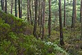 NorwegianScotsPineForest Os Hordaland.jpg