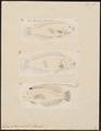 Novacula taeniurus - 1700-1880 - Print - Iconographia Zoologica - Special Collections University of Amsterdam - UBA01 IZ13900096.tif
