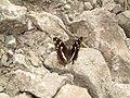 Nymphalidae - Apatura iris - 2.jpg
