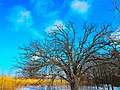 Oak Tree - panoramio (1).jpg