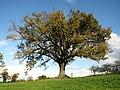 Oak tree - geograph.org.uk - 609575.jpg