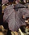 Oakleaf Hydrangea quercifolia 'Pee Wee' (2005-045-A) Winter Leaf.JPG