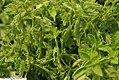 Ocimum basilicum Green Ruffles 1zz.jpg