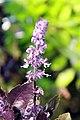 Ocimum basilicum Purple Delight 2zz.jpg