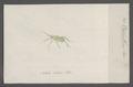 Oecanthus - Print - Iconographia Zoologica - Special Collections University of Amsterdam - UBAINV0274 065 05 0039.tif