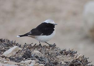 Mourning wheatear - In Petra, Jordan